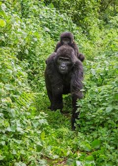 Weiblicher berggorilla mit einem baby. uganda. bwindi impenetrable forest national park.