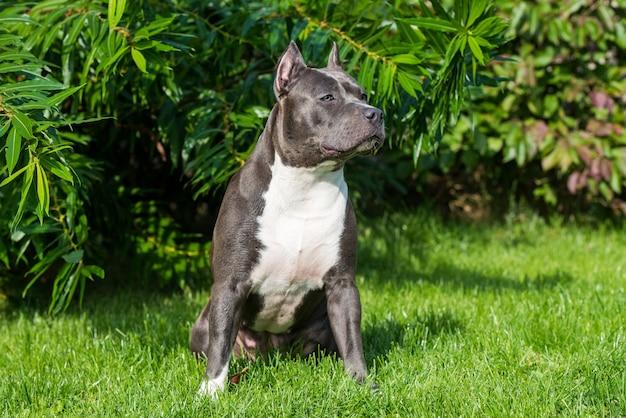 Weiblicher blauer gestromter amerikanischer staffordshire terrier-hund oder amstaff-nahaufnahme auf natur