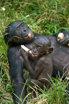 Weiblicher bonobo mit einem baby. demokratische republik kongo. lola ya bonobo nationalpark.