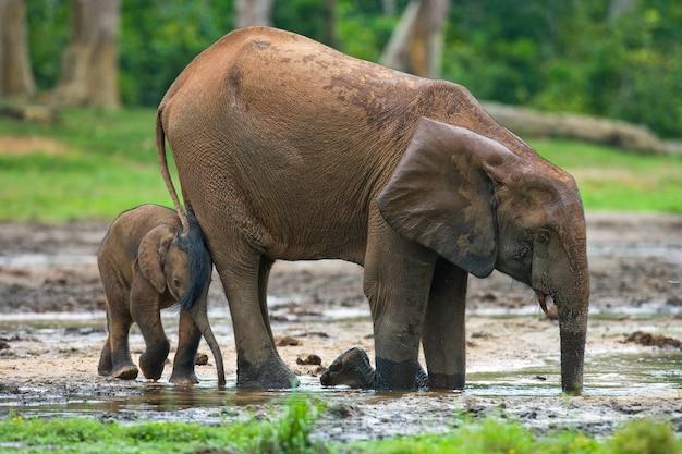 Weiblicher elefant mit einem baby. zentralafrikanische republik. republik kongo. dzanga-sangha special reserve.