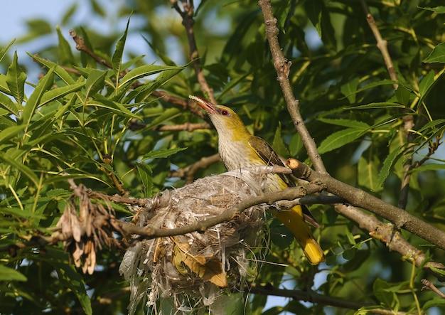 Weiblicher eurasischer goldener pirol (oriolus oriolus) ist nahaufnahme nahe dem nest. im schnabel hält futter für die küken.