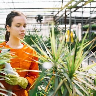 Weiblicher gärtner mit der sprühflasche, die anlage im gewächshaus betrachtet