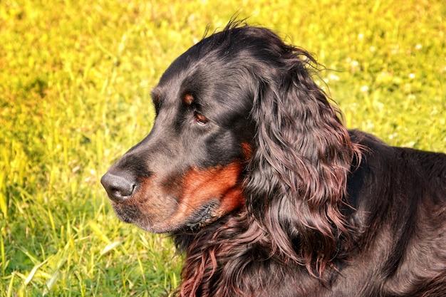 Weiblicher gordon setter hund, der in einer frühlingswiese liegt