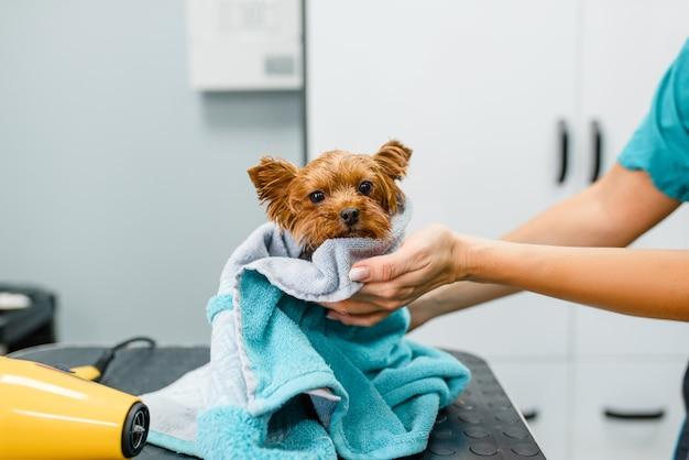 Weiblicher groomer wischt niedlichen kleinen hund mit einem handtuch ab, waschvorgang, pflegesalon.