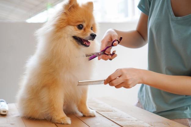 Weiblicher groomerhaarschnitt pomeranian-hund auf dem tisch von im freien. vorgang des abschließenden scherens der haare eines hundes mit einer schere. salon für hunde.