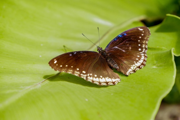 Weiblicher großer eggflyschmetterling