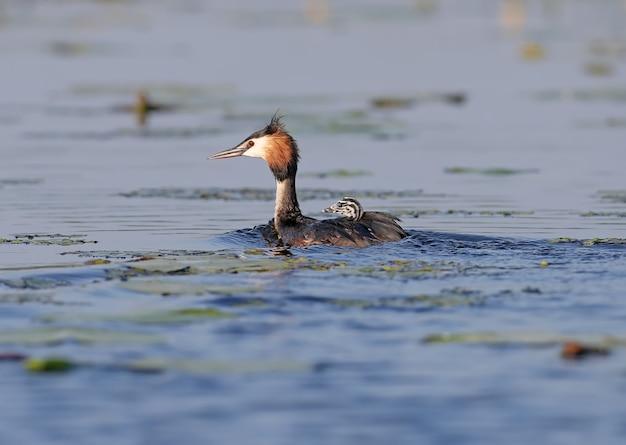 Weiblicher haubentaucher schwimmt mit einem seiner küken auf dem rücken auf dem see