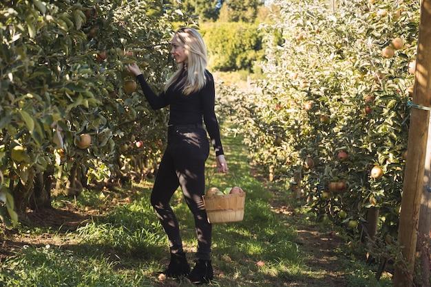 Weiblicher landwirt, der äpfel sammelt