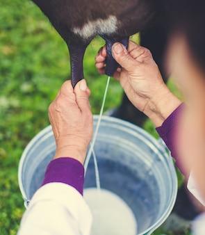 Weiblicher landwirt, der eine kuh im bauernhof melkt