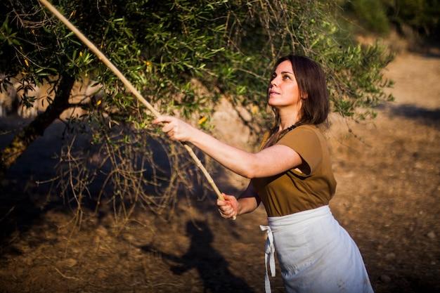 Weiblicher landwirt, der oliven mit stock auf dem gebiet sammelt