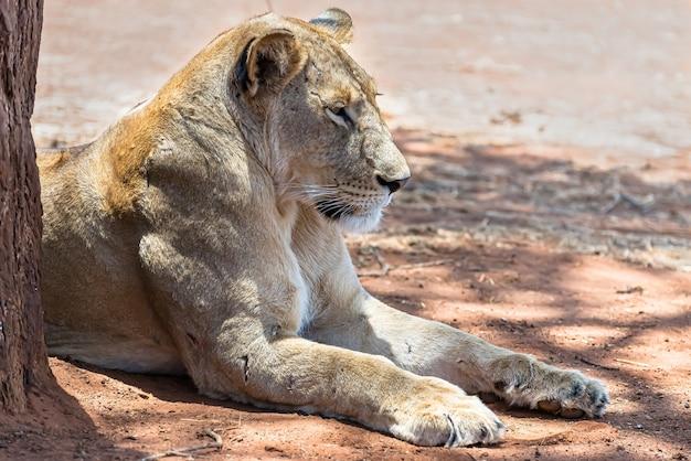 Weiblicher löwe, der an einem sonnigen tag auf dem boden ruht