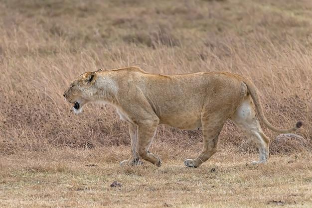 Weiblicher löwe, der in einem grasfeld während des tages geht
