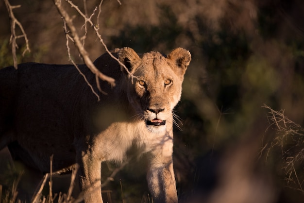 Weiblicher löwe, der nach einer beute jagt
