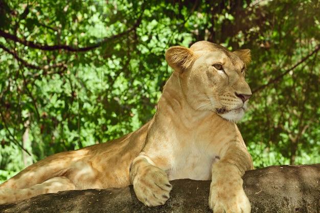 Weiblicher löwe, der sich auf einem felsen entspannt