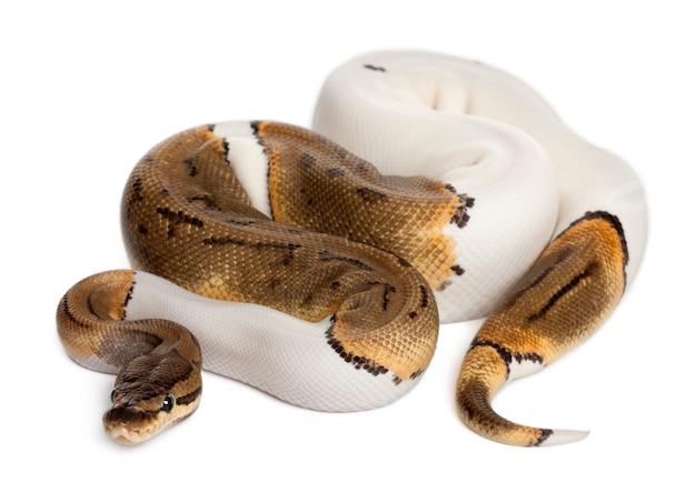 Weiblicher nadelstreifen gescheckte königliche python, kugelpython - python regius, nadelstreifen