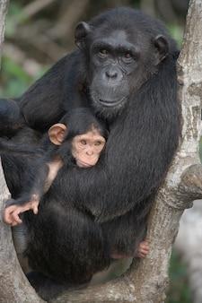 Weiblicher schimpanse mit einem baby auf mangrovenbäumen