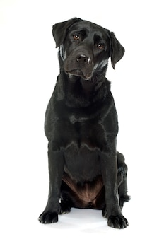 Weiblicher schwarzer labrador-apportierhund