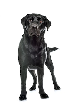 Weiblicher schwarzer labrador retriever