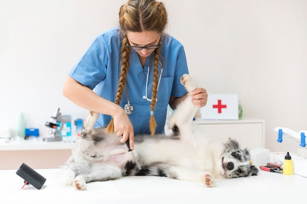 Weiblicher tierarzt, der hundehaar mit flohkamm kämmt