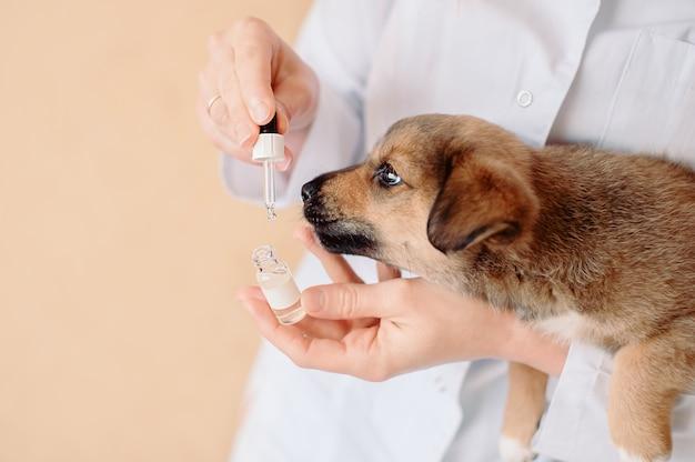 Weiblicher tierarzt mit tropfen und kleinem mischlingswelpen in den händen an der tierklinik