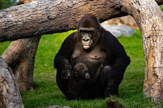 Weiblicher westgorilla, der um einem baby gorilla gorilla gorilla sich kümmert.