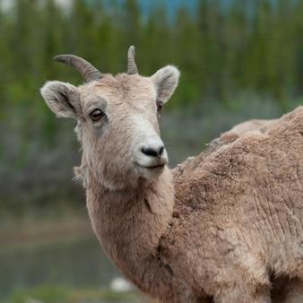 Weibliches bighornschaf (ovis canadensis), jasper national park, alberta, kanada