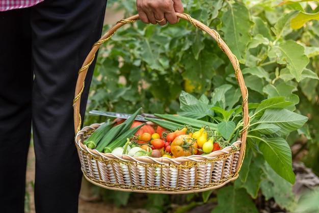 Weibliches ernten des gemüses organisch am bauernhof, geerntetes saisongemüse