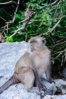 Weibliches macaca fascicularis, das auf einem felsen sitzt. affestrand, thailand