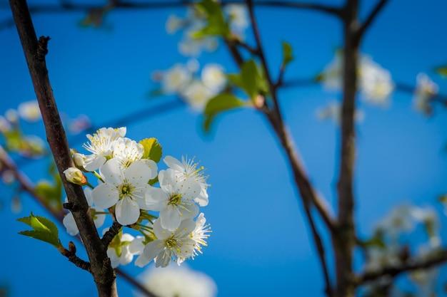 Weiche weiße blühende bäume über dem klaren blauen himmel, frühling.