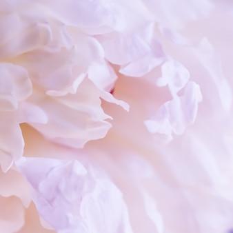 Weicher fokus abstrakter blumenhintergrund blassrosa pfingstrose blütenblätter makro blumen hintergrund