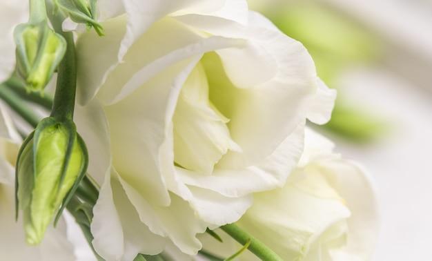 Weicher fokus abstrakter blumenhintergrund weiße eustomablume mit knospenmakroblumenhintergrund für