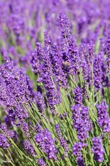 Weicher fokus auf lavendelblüte, schöne lavendelblüte. lavendel hintergrund.