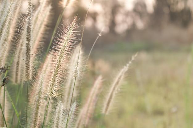 Weicher fokus der wiesenblume mit sonnenstrahlen, blumenhintergrund.