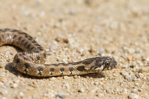 Weicher fokus einer viperine-wasserschlange auf einem trockenen kiesboden
