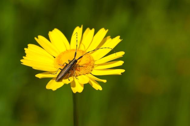 Weicher fokus eines käfers mit langen antennen auf einer leuchtend gelben blume auf einem feld