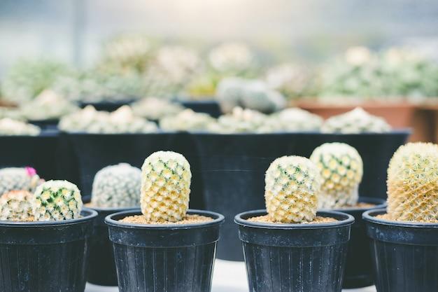 Weicher fokus grüner kaktus nah herauf häschen-ohr-kaktus oder opuntia microdasys-unschärfehintergrund
