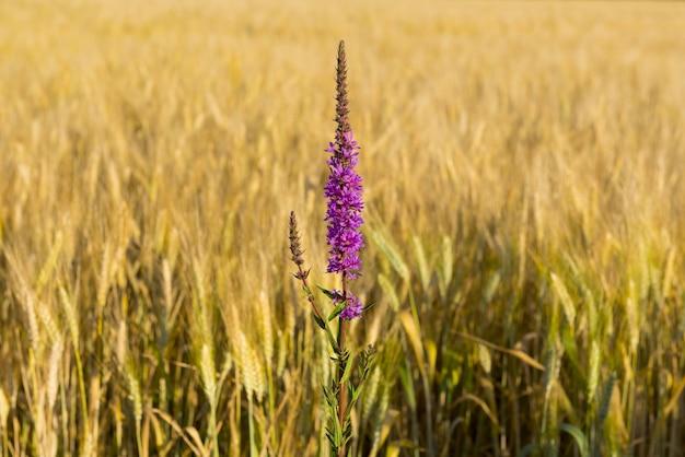 Weicher fokus von lila blumen in einem weizenfeld an einem sonnigen tag