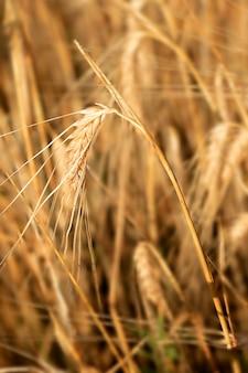Weicher selektiver fokus des weizenähre-bioprodukts auf einem ohr