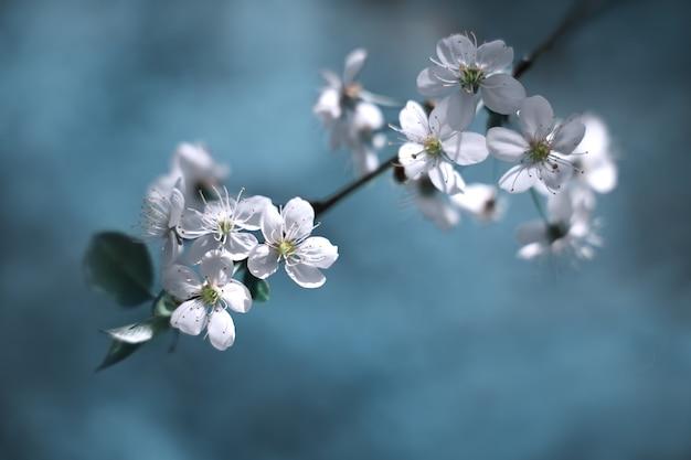 Weicher selektiver fokuszweig des kirschbaums mit weißen blüten