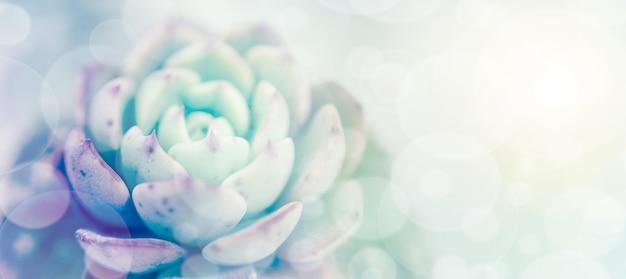 Weicher, unscharfer blumenhintergrund mit echeveria sukkulenten mit rosa und grünen spitzen blättern mit textfreiraum mit abstraktem hintergrund und hintergrund