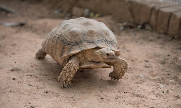 Weichschildkröte landschildkröten