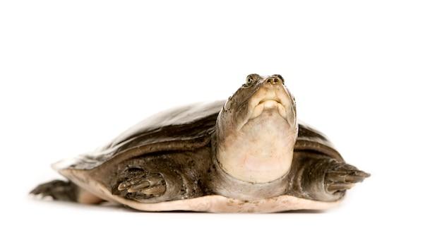 Weichschildkröten - familie: trionychidae isoliert