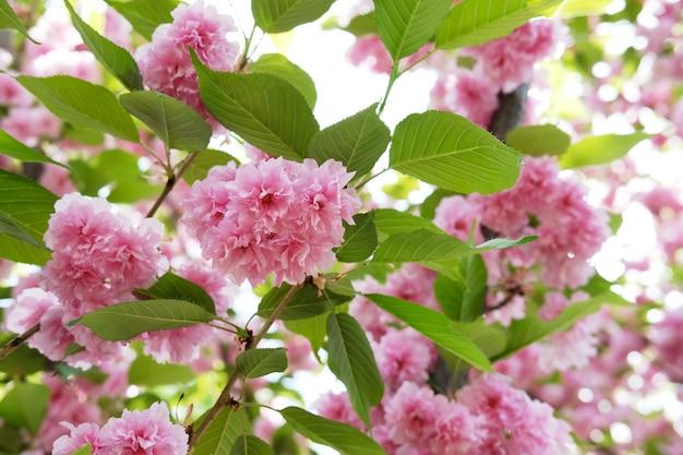 Weichzeichner kirschblüte oder sakura-blume auf naturhintergrund