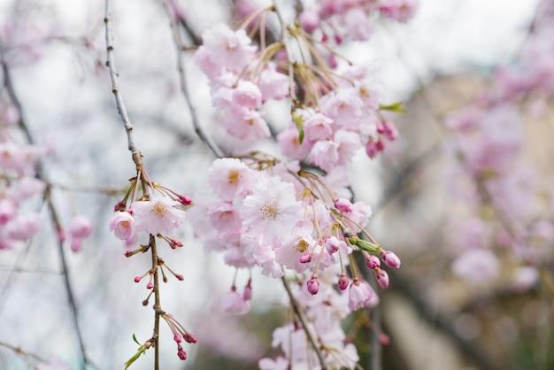 Weichzeichner kirschblüte