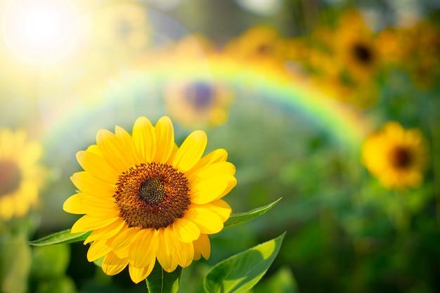 Weichzeichner-sonnenblume mit regenbogen, selektiver fokus auf unscharfem hintergrund.