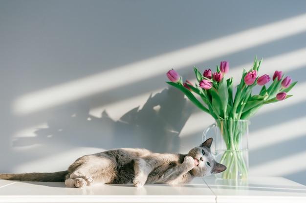 Weichzeichnerporträt der verspielten und aktiven reinrassigen russischen blauen katze, die auf tisch mit tulpenbooquet in der glasvase aufwirft. schöne inländische kätzchenfreizeit. lustiges kätzchen mit blumen hinter wand