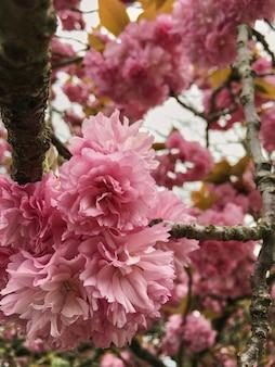 Weichzeichnung cherry blossom- oder kirschblüte-blume auf naturhintergrund