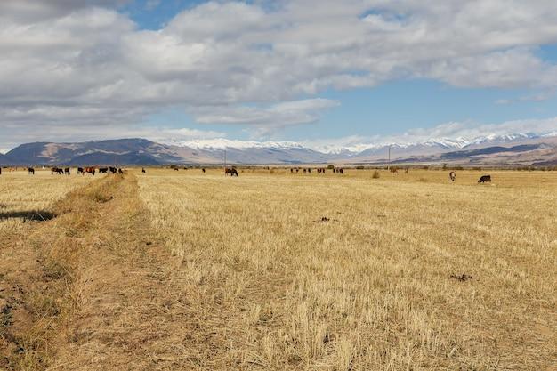 Weide in den bergen. pferde und kühe grasen auf dem feld. kirgisistan.