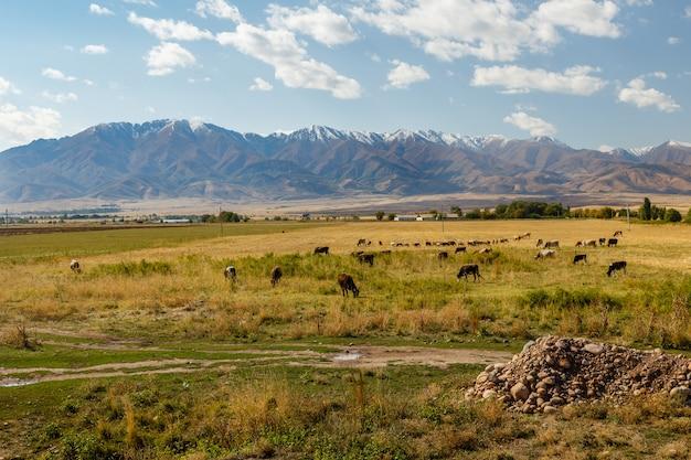 Weide in der bergwiese in den bergen, kühe und schafe grasen auf einer grünen wiese