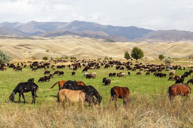 Weide in kirgisistan. eine herde schafe und pferde grasen auf einer wiese in den bergen.